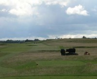 Cattle in front of 10th Tee