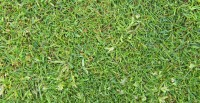 poa annua, fescue, bents, fine grasses,