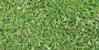 fescue browntop bent poa annua